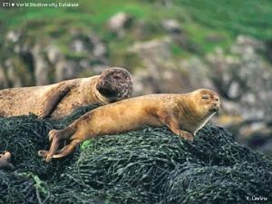 Zeehonden en zeewier